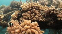 Damselfish (Humbug Dascyllus)  On Coral, In Pemuteran's Biorock Coral Nursery Structures