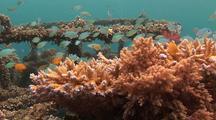 Blue-Green Chromis Damselfish  On Coral, In Pemuteran´S Biorock Coral Nursery Structures