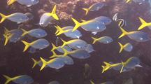 School Of Blue And Yellow Fusiliers In Wreck
