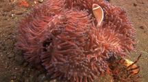 Pink Anemonefish On Anemone