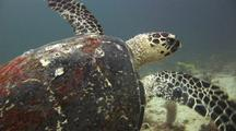 Green Sea Turtle On Coral Reef