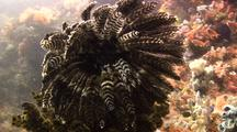 Feather Star, Crinoid On Coral Reef