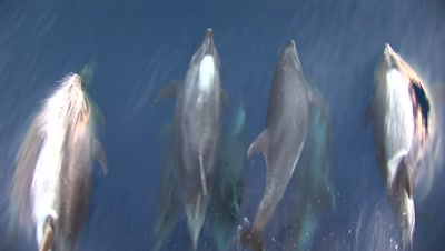 Bottlenose Dolphins On Surface Shot From Boat
