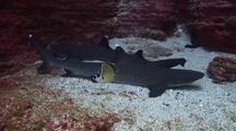 Whitetip Sharks On Ledge