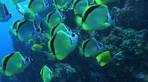 School Of Barberfish (Butterflyfish)