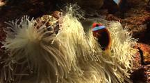 Clown Fish (Anenomefish) And Anenome,Life On Ship Wreck