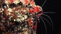 Banded Coral Cleaner Shrimp On Wreck