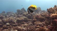 Colorful Masked Bannerfish