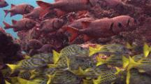 Snapper And Squirrelfish Schools Hover On Reef