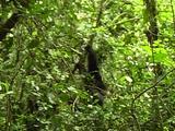 Chimpanzee Displaying Dominant Behavior