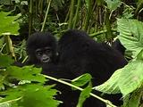 Young Mountain Gorillas Playing And Climbing