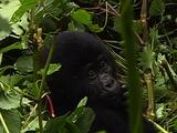 Young Mountain Gorilla Scratching And Chewing