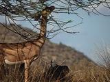 Gerenuk Feeds From An Acacia