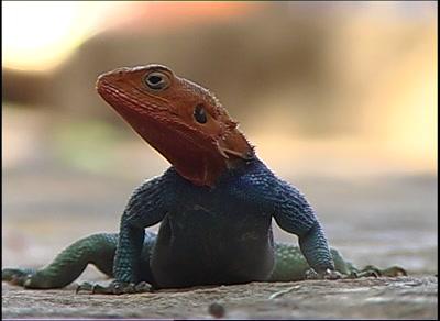 Agama Lizard Turning Its Head