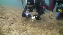 Blue Ringed Octopus Being Photographed By Diver