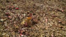 Blue Ringed Octopus Track Wide Shot