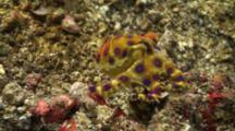 Blue Ringed Octopus Changing Colour Multiple Times