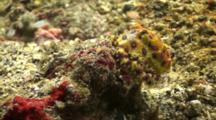 Blue Ringed Octopus Camouflage To Full Colour Display