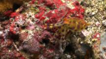 Blue Ringed Octopus Crawling / Walking Towards Camera