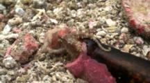 2 Blue Ringed Octopus Mating In A Beer Bottle