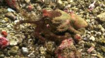 2 Blue Ringed Octopus Mating