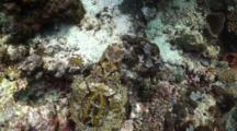 Crocodile Fish Rests On Coral, From Above