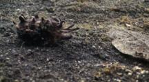 Flamboyant Cuttlefish Flaring Skin And Colour Turn Towards Camera