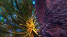 Elegant Squat Lobster In Feather Star Wide Shot