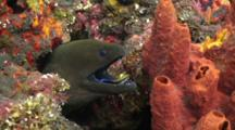 Giant Moray Eel With Cleaner Wrasse Long Swim In The Mouth