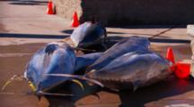 Close Up Of Big Tuna Fish Laying On A Dock.