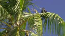 Bird, Possibly Frigate, Roosting In A Palm Tree.