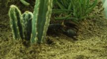 Emperor Scorpion Moves Among Desert Vegetation