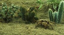 Tarantula Moves Around Desert Vegetation