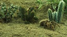 Tarantula Moves Around Desert Vegetation