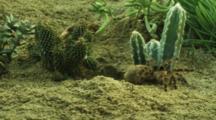 Tarantula Exits Burrow, Moves Around Desert Vegetation