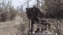 African Black Panther Walks, Pauses On Log