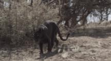 African Black Panther Walks Toward Camera