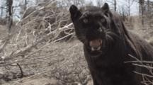 African Black Panther Growls