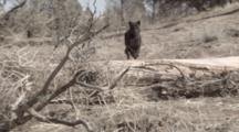 African Black Panther Runs Down Hill Toward Camera, Jumps Over Log