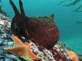Sea Hare On Reef With Seastar
