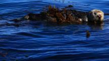 A Southern Sea Otter Swims Through Kelp Along The Coast Of Monterey Bay.