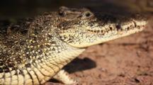 An Endangered Cuban Crocodile In Cuba's Zapata Wildlife Reserve.