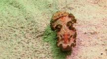 Chromodoris Nudibranch Crawling On Sand