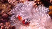Two Tomato Anemonefish In White Anemone