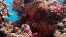 Two Tomato Anemonefish On Coral Reef