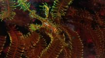 Harlequin Ghost Pipefish In Yellow Featherstar