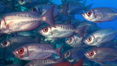 Glaseye Soldierfish