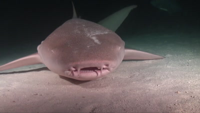 Tawny nurse shark close from front