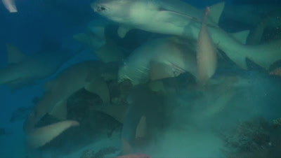 Tawny nurse shark eating