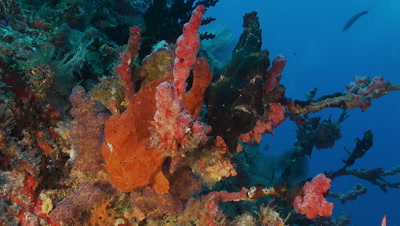 Two Giant frogfish
